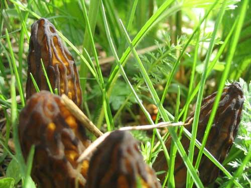 Сморчки тоже грибы интересно что эти